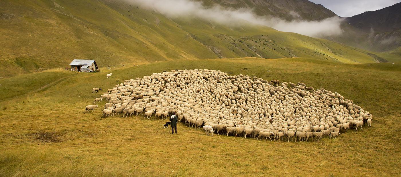 Élevage et loups en France : historique, bilan et pistes de solution