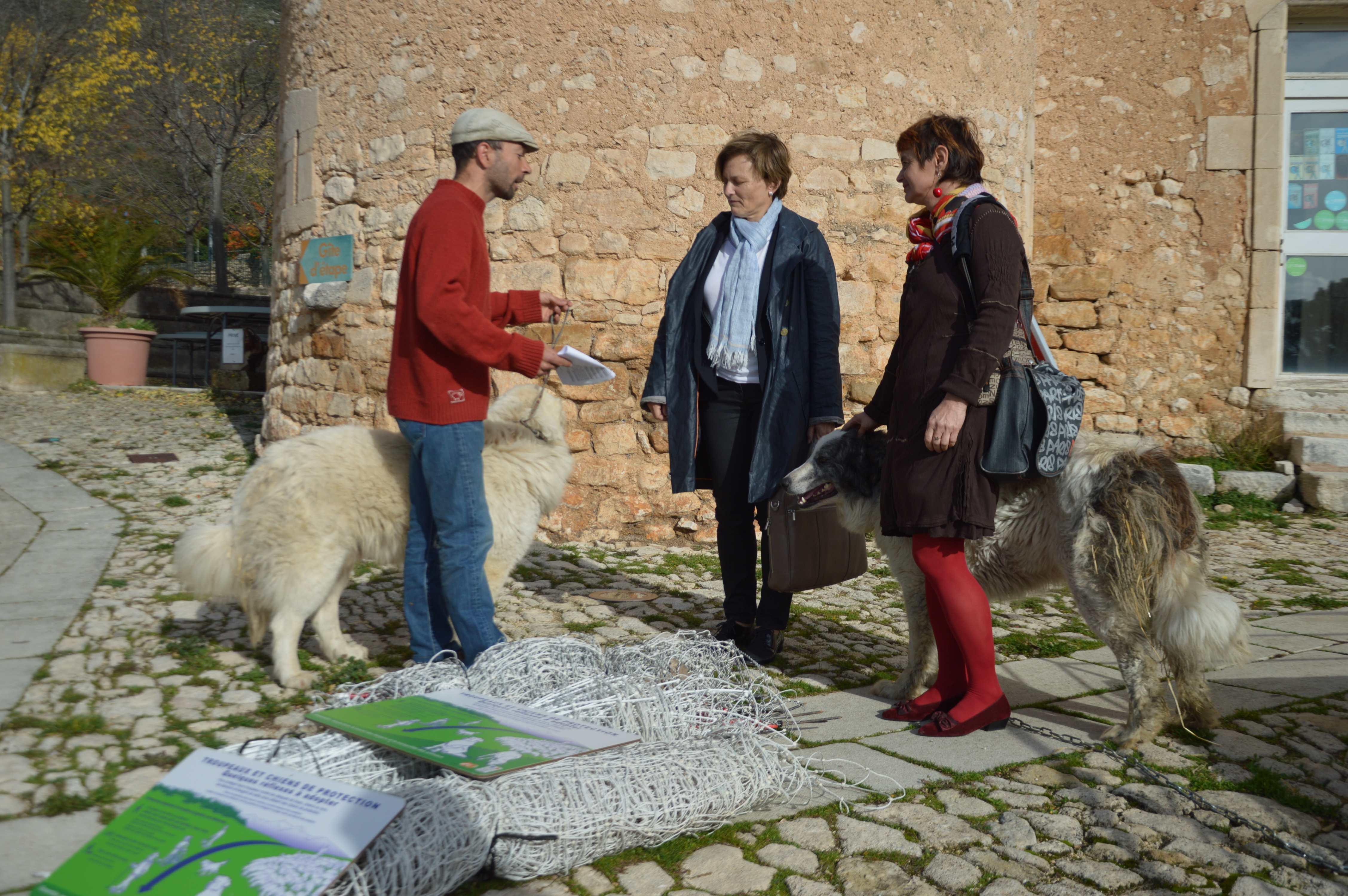 Face aux contraintes du loups, les éleveurs du Vaucluse rendent leurs patous