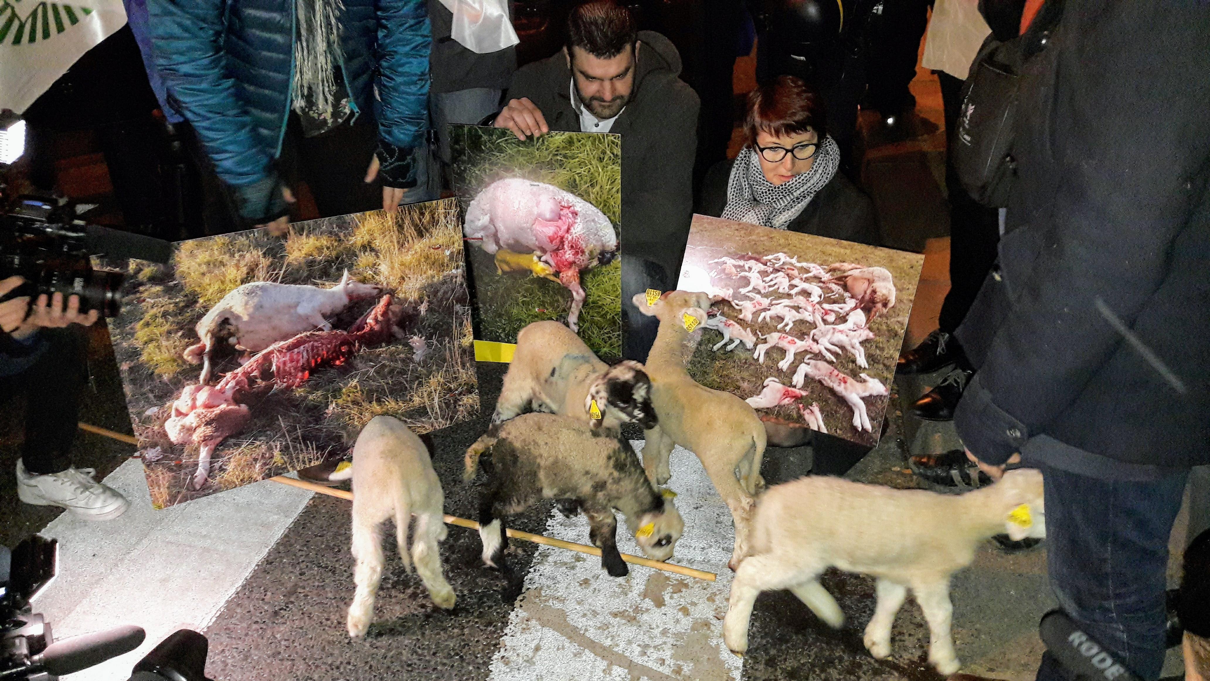 Les orphelins du loup à Matignon