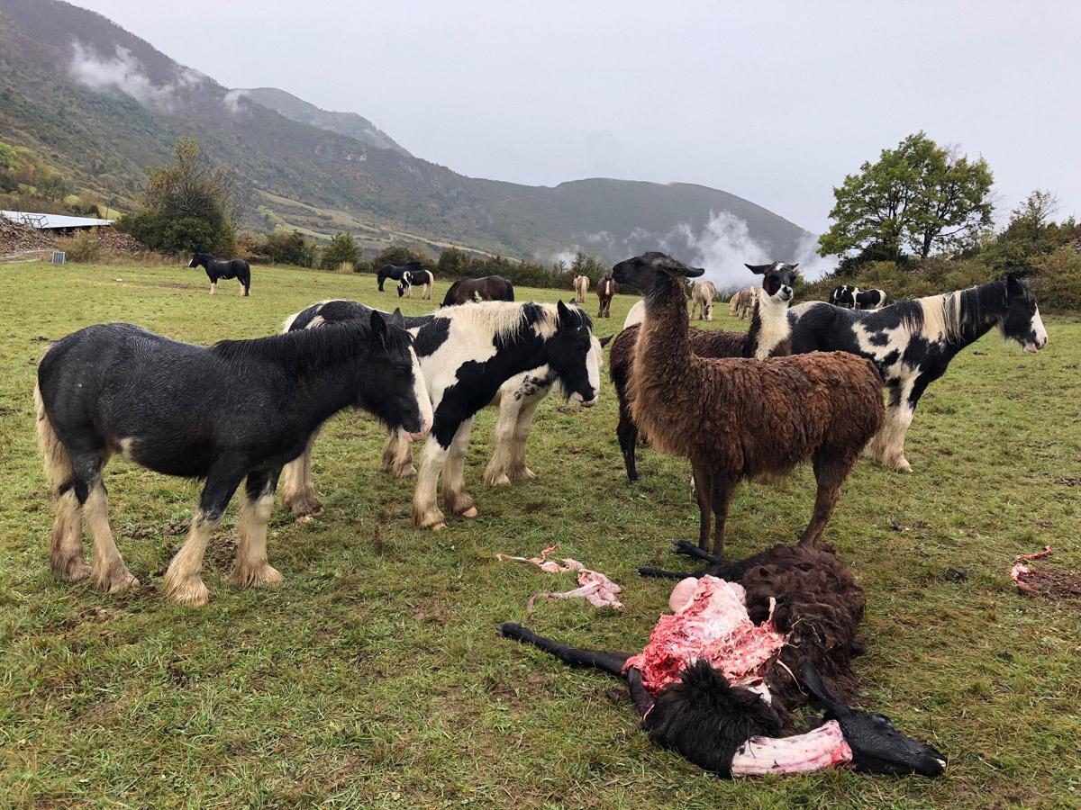 Quand les loups tuent vaches, chevaux et lamas dans les Alpes-de-Haute-Provence