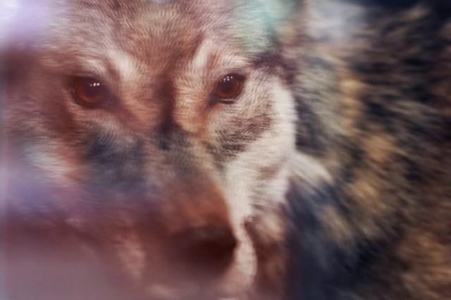 Faune: Dix loups identifiés en Valais – Suisse – 24heures.ch