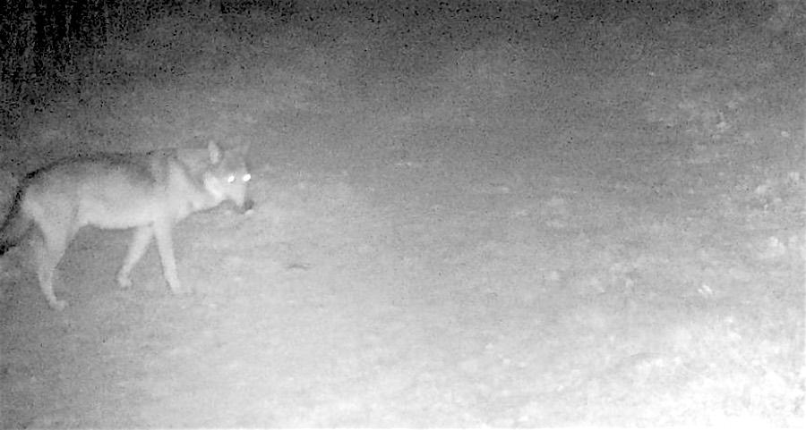Un loup identifié en Ariège en limite de l'Aude – Actualités en Ariège sur Azinat.com