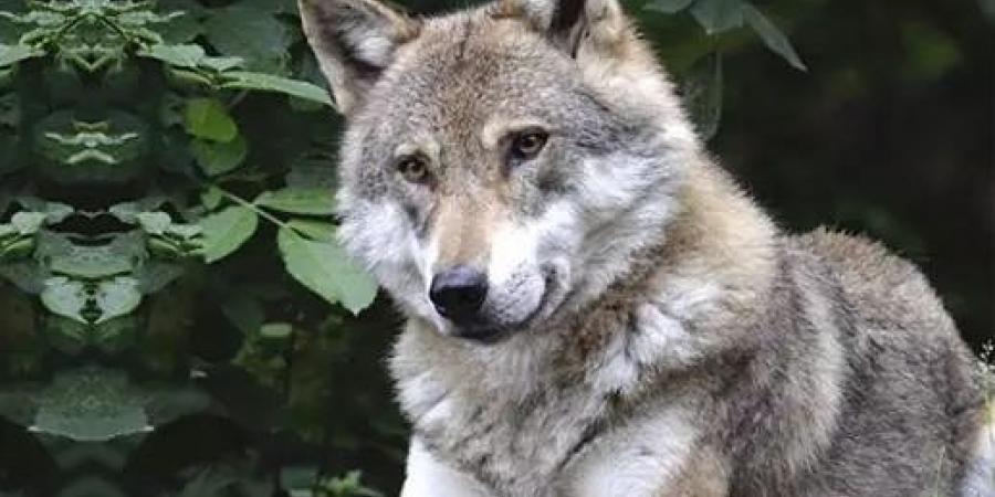 Alpes du Sud : alors que la France veut augmenter le nombre de loup à tuer, l'Italie envisage d'interdire l'abattage… | D!CI TV & Radio