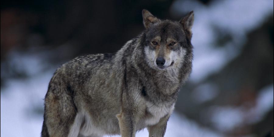 Alpes de Haute-Provence : la cohabitation entre le loup et l'activité humaine est-elle possible ?   D!CI TV & Radio