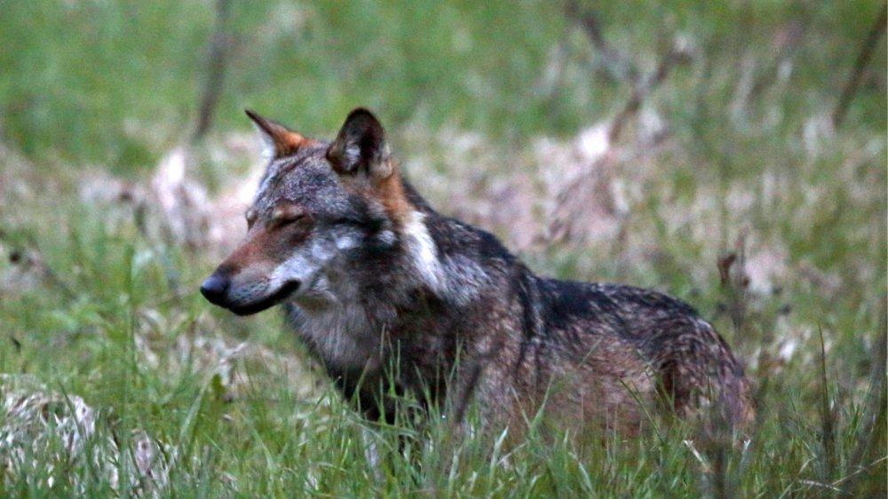 Le loup sera moins protégé