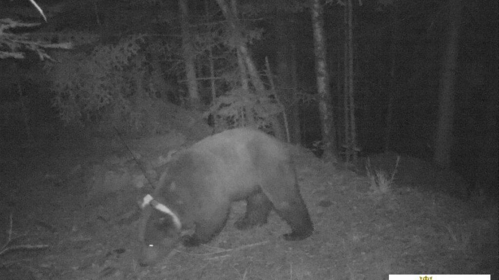 Pyrénées : l'ours Goiat sème l'effroi en raison de ses nombreuses prédations, son retrait du massif est évoqué – France 3 Occitanie