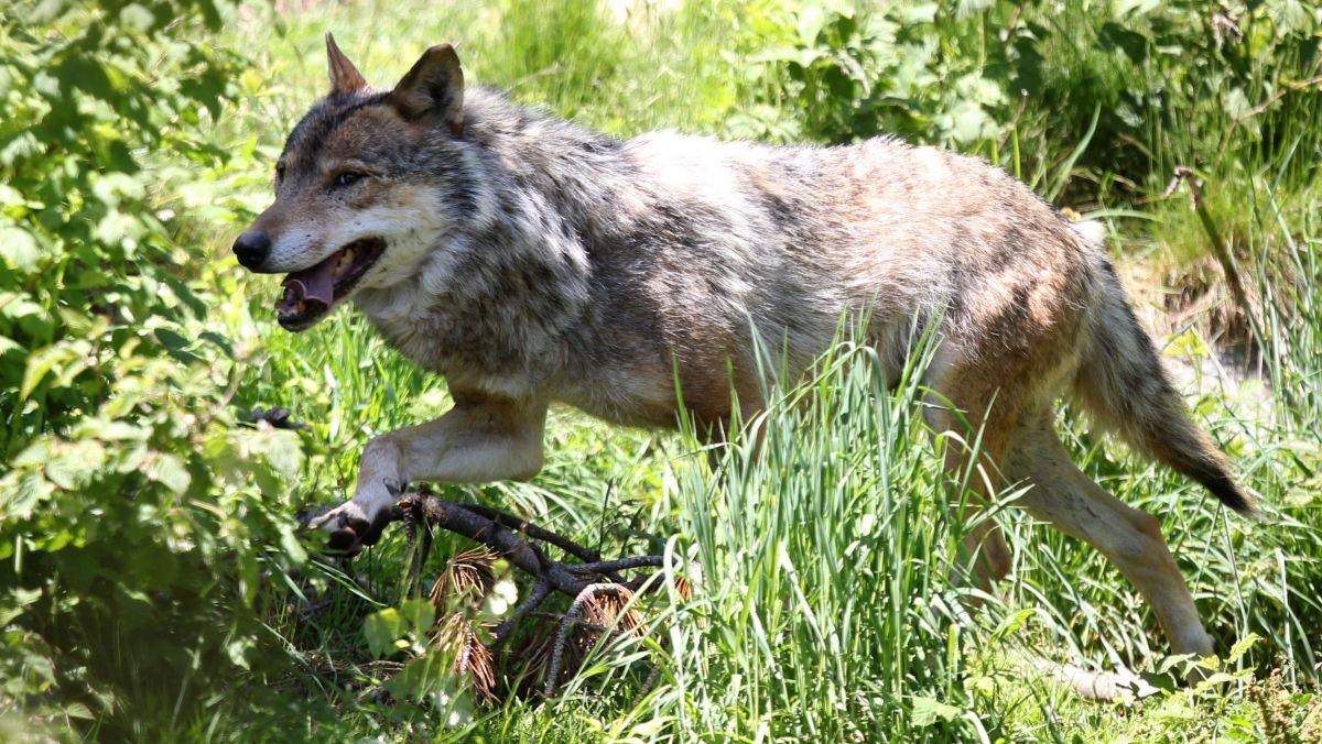 Le préfet de l'Ain installe une cellule de veille « loup » – France 3 Auvergne-Rhône-Alpes