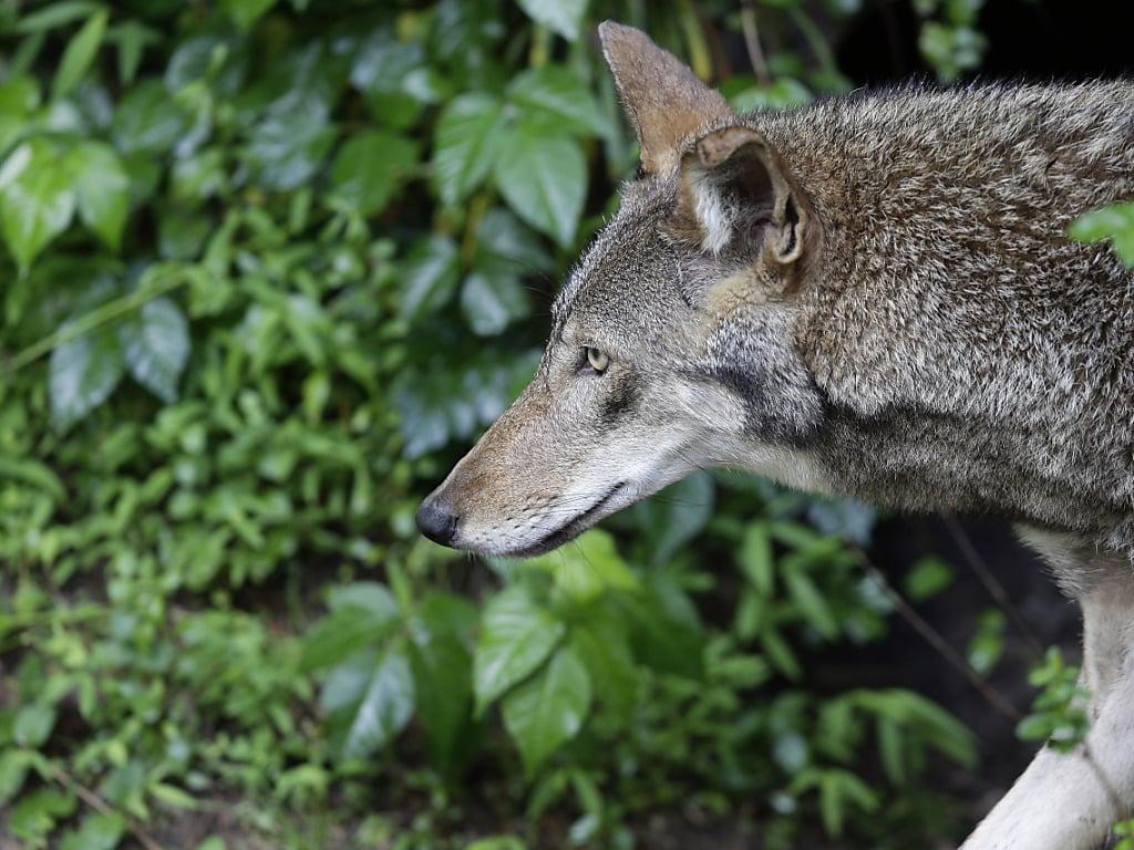 Le loup pourra plus facilement être tué | Radio Lac
