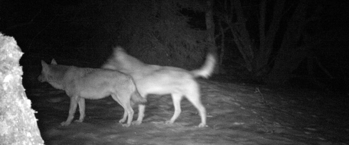 Le loup poursuit son expansion – Fédération des chasseurs de Haute-Savoie