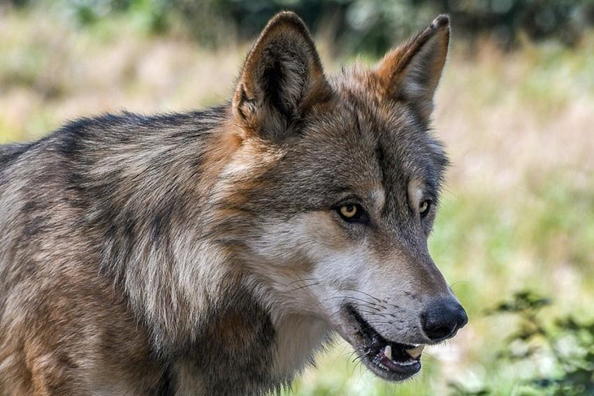La recrudescence des attaques du loup pénalise l'élevage ovin : le préfet Patrice LATRON passe à l'offensive…