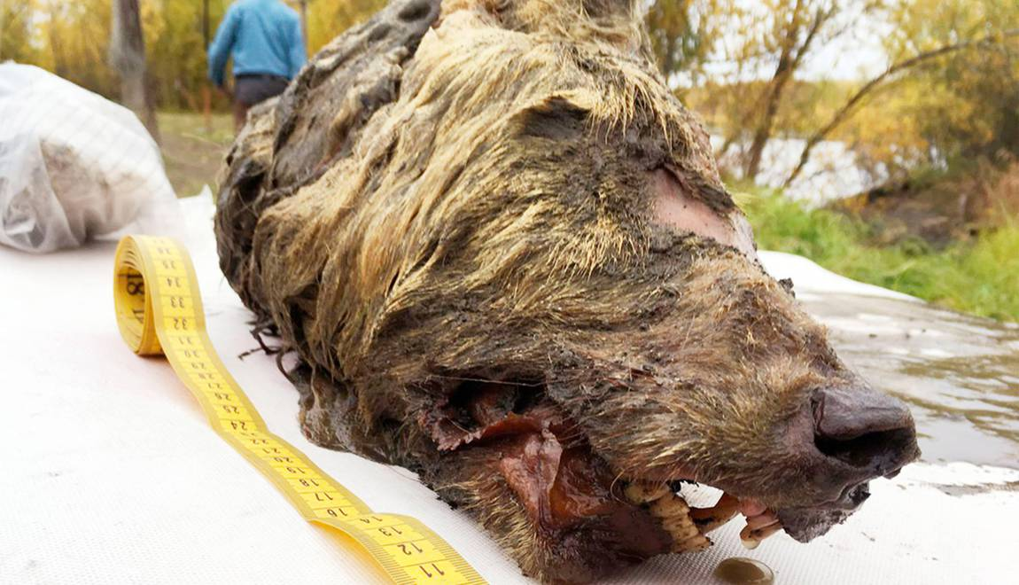 Un Russe découvre une tête de loup vieille de 40000 ans en Sibérie – Geo.fr