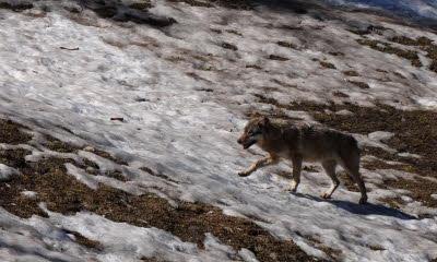 Secteur de Thann | Vosges et Jura alsaciens: les situations contrastées du lynx, du loup, et du chat sauvage [VIDEO] + [DIAPORAMA]