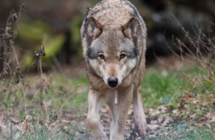 Loup : « Entre l'éleveur et le prédateur, je choisis toujours l'éleveur » affirme le ministre Didier Guillaume – Haute Provence Info