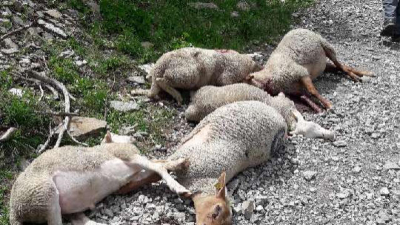 Hautes-Alpes : loups, « il est impératif que l'État prenne ses responsabilités »