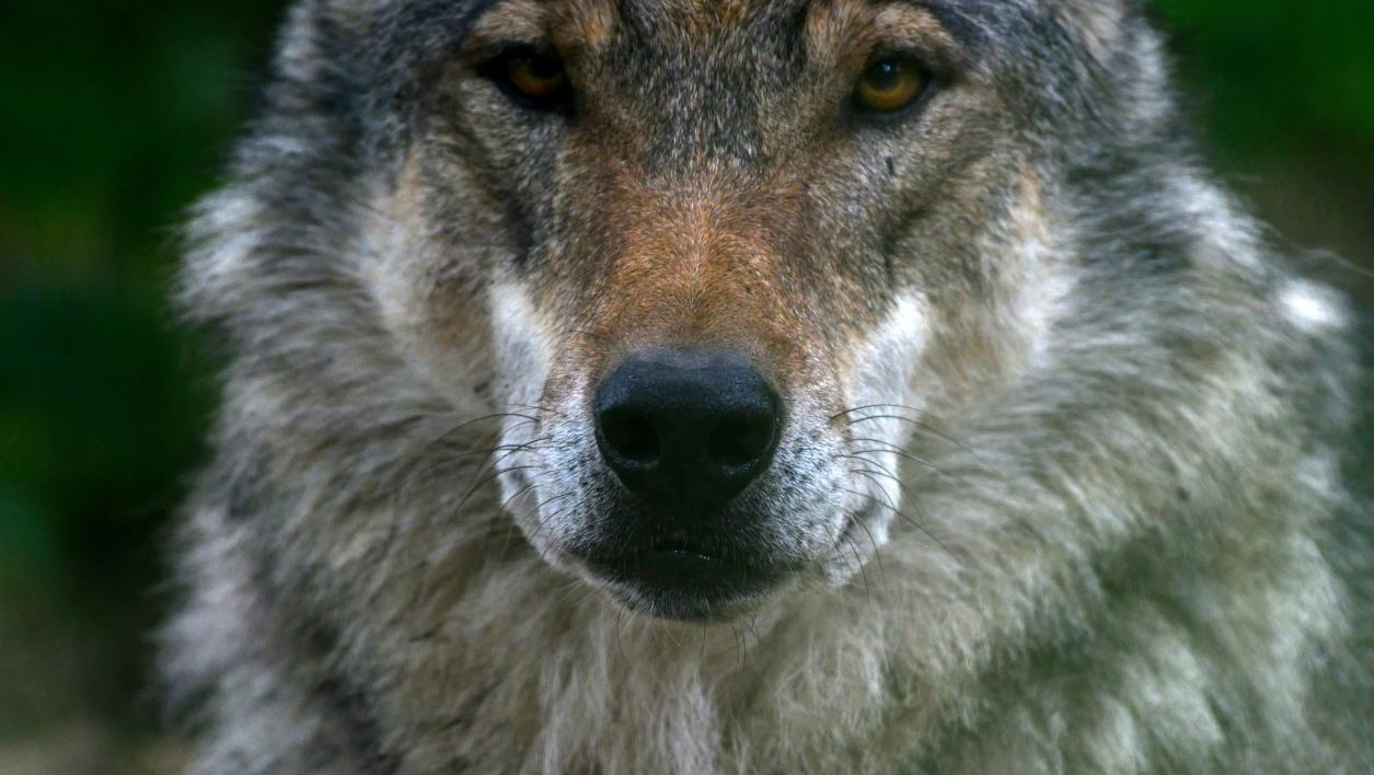 Meurthe-et-Moselle: des dizaines de milliers de signatures contre l'abattage d'un loup
