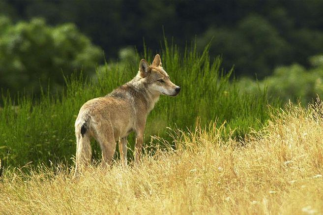Le président de la FDSEA l'assure : « Nous ne voulons pas que le loup se sente chez lui dans le Cantal » – Le Claux (15400) – La Montagne