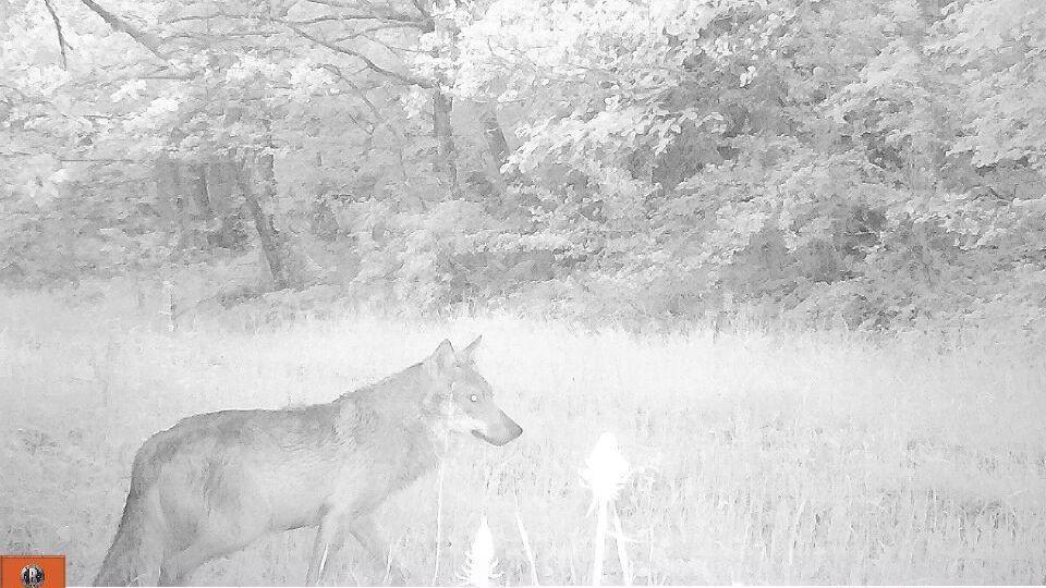 Après les photos, une vidéo d'un loup dans les Monts du Cantal ? – France 3 Auvergne-Rhône-Alpes