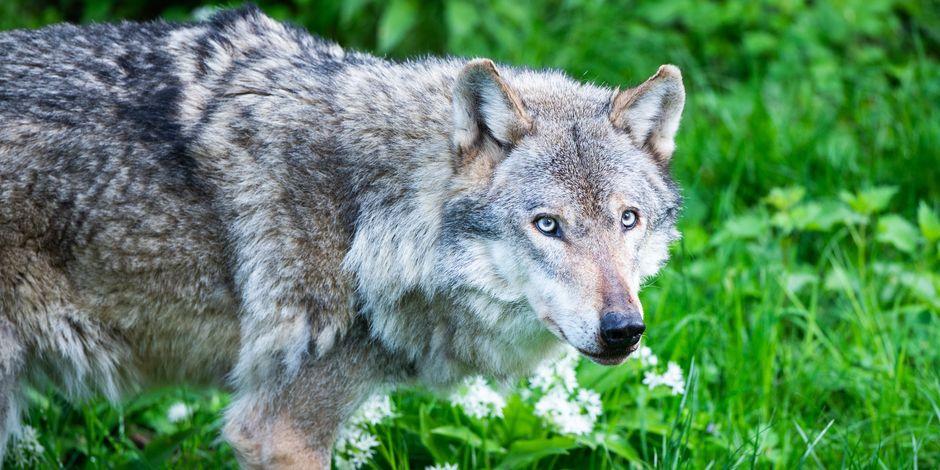 Retour du loup en Belgique : les volontaires s'activent pour protéger les brebis – La DH