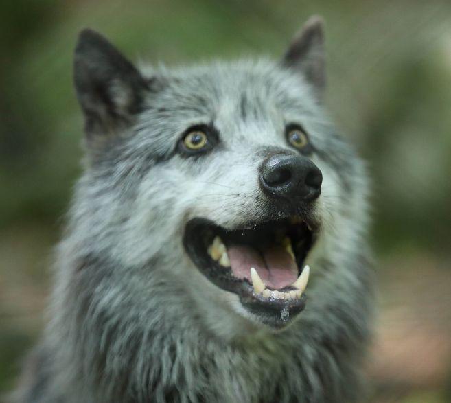 «Loup y es-tu ?» : le loup a laissé ses empreintes dans les petites histoires de la Nièvre – Nevers (58000) – Le Journal du Centre