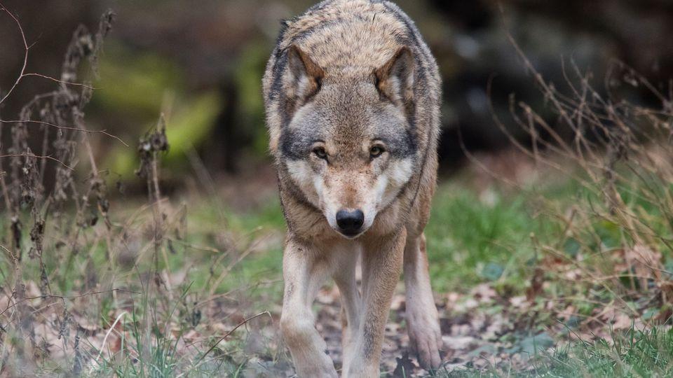Le loup fait son retour sur les versants français du massif du Jura – L'Express