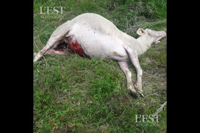 Edition de Besançon | Une attaque de loup dans le massif du Jura