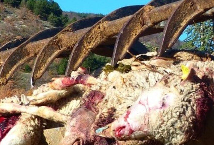 Faits divers – Justice | Alpes : 20 brebis tuées dans une attaque de troupeau | La Provence