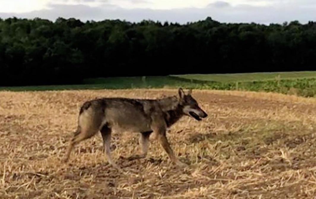 Belgique: c'est bien un loup qui a été photographié, en août, près de la frontière – Journal L'Ardennais abonné