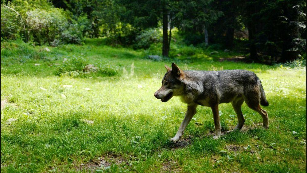 Arrivée du loup : quels risques pour les éleveurs limousins ? – France 3 Nouvelle-Aquitaine