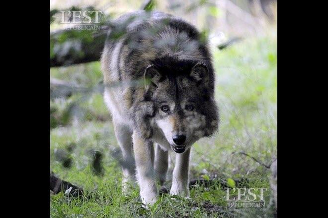 Edition de Toul | Le loup a encore frappé