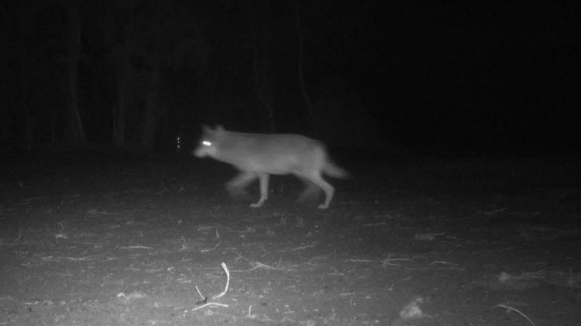 Loups en Flandre: une petite dizaine d'informations exploitables autour de la disparition de la louve Naya – Le Soir