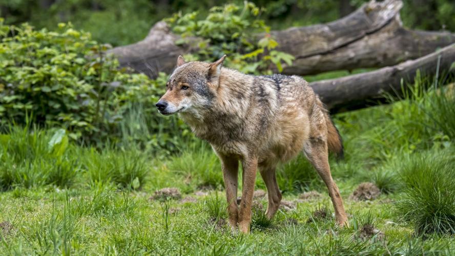L'Europe a tranché : «La mise à mort de loups ne sera autorisée que dans des cas exceptionnels»