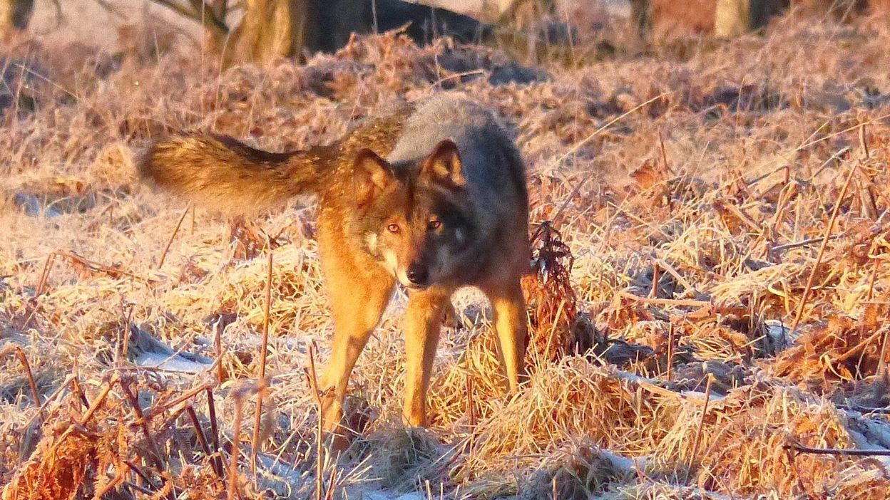 Après la mort de la louve Naya, la Région Wallonne veut son «plan loup»