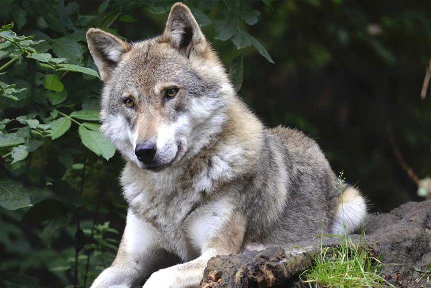 Archives des Cantal - Les éleveurs face au loup