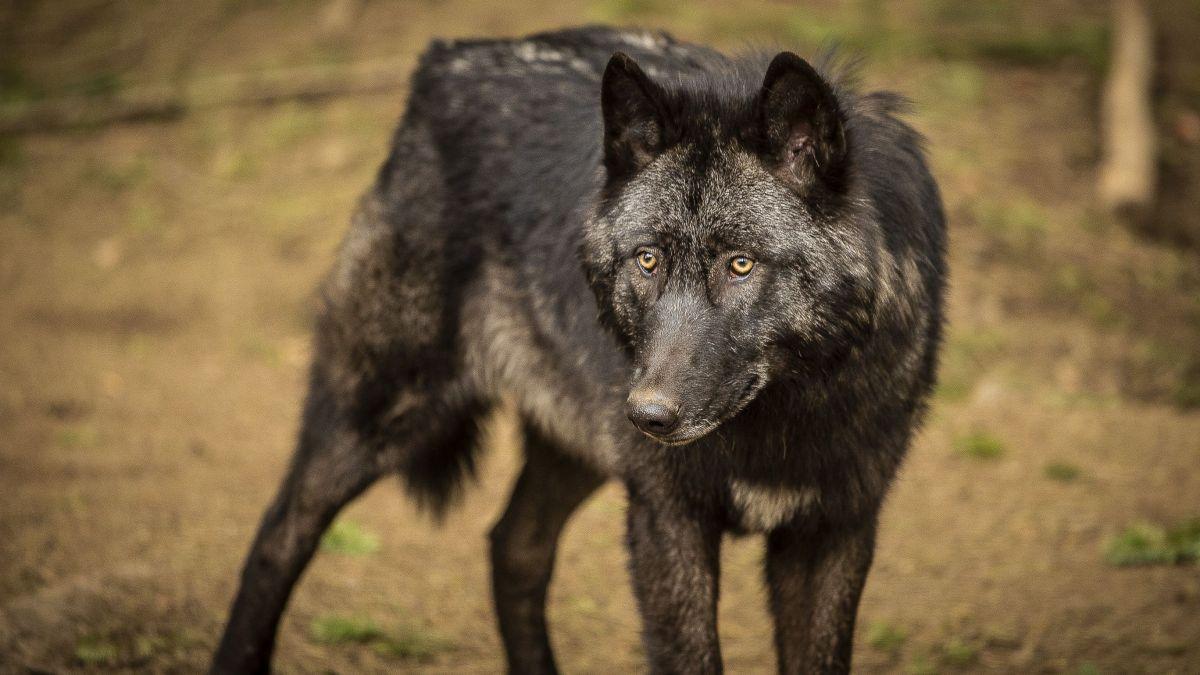 Limousin : le loup toujours sous surveillance – France 3 Nouvelle-Aquitaine