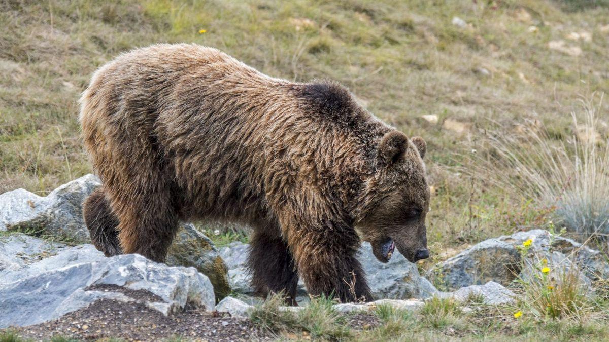 Ours dans les Pyrénées : un été sous pression – France 3 Occitanie