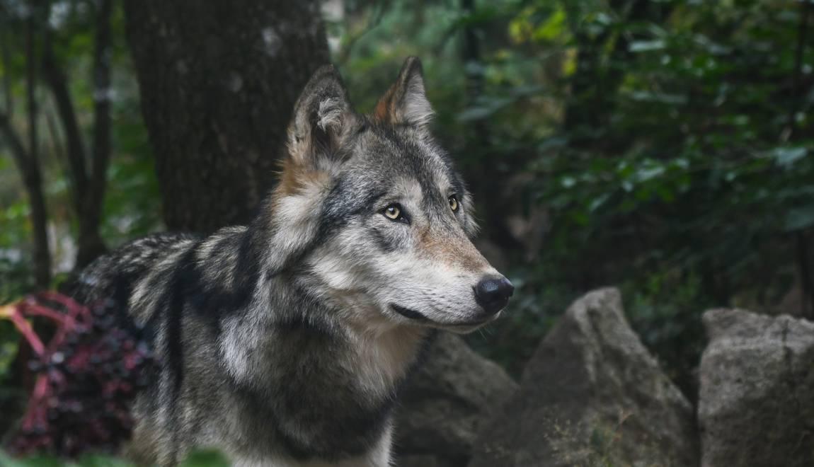 Quelle est la situation du loup en France ? – Geo.fr