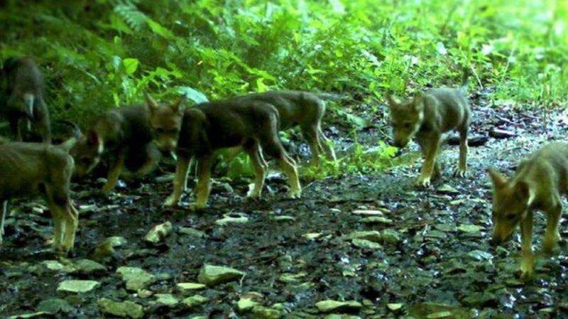 Deux autres jeunes loups de la meute du Piz Beverin…