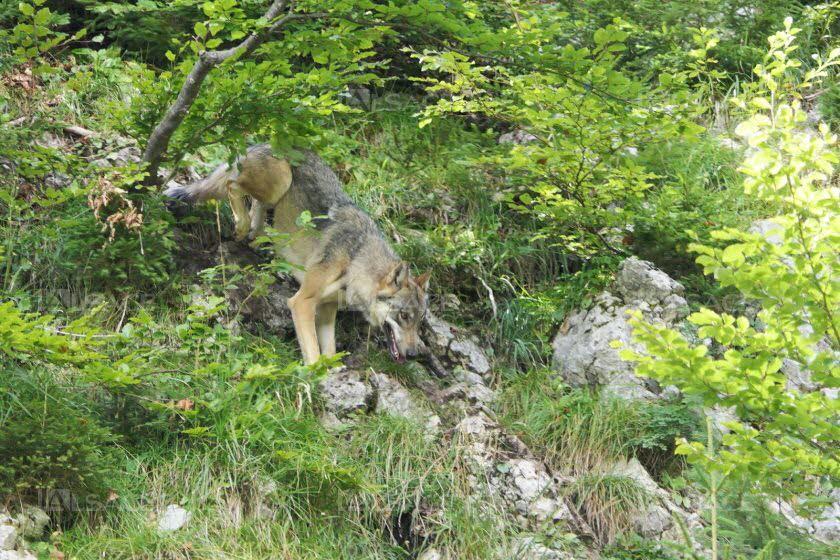 Faits-divers – Justice | Un loup a tué plusieurs moutons dans le Bade-Wurtenberg