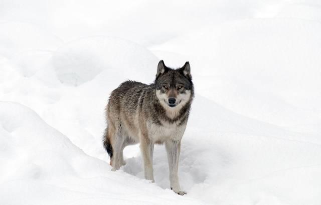 Ariège : Après deux attaques de brebis, la présence du loup est bien confirmée