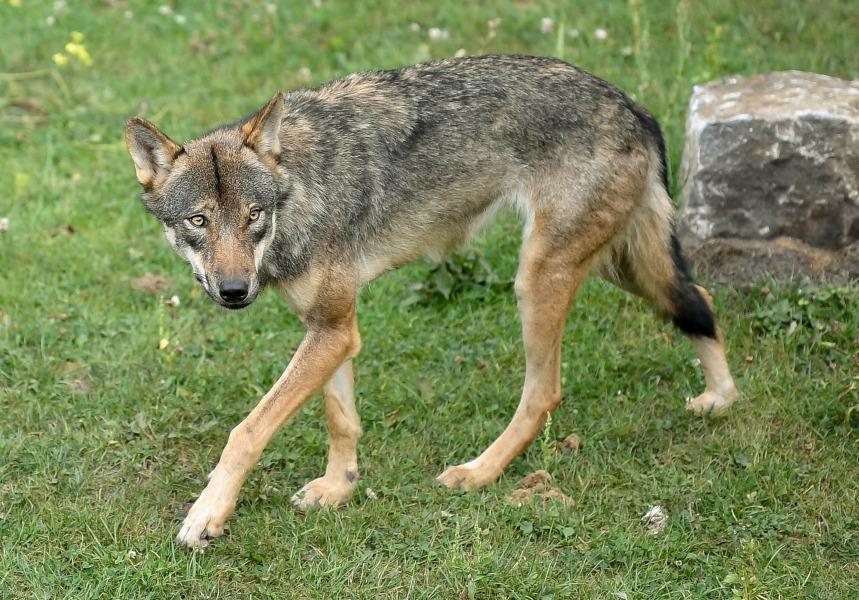 La justice condamne l'abattage de six loups en Savoie en 2015