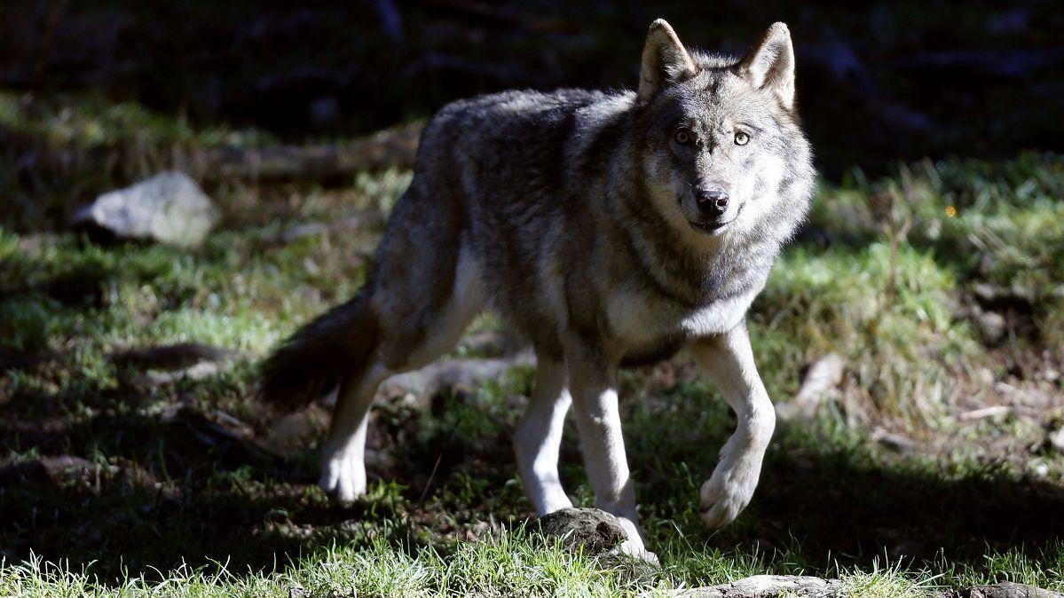 Massif du Jura : à la frontière franco-suisse, la population de loups s'agrandit – France 3 Bourgogne-Franche-Comté