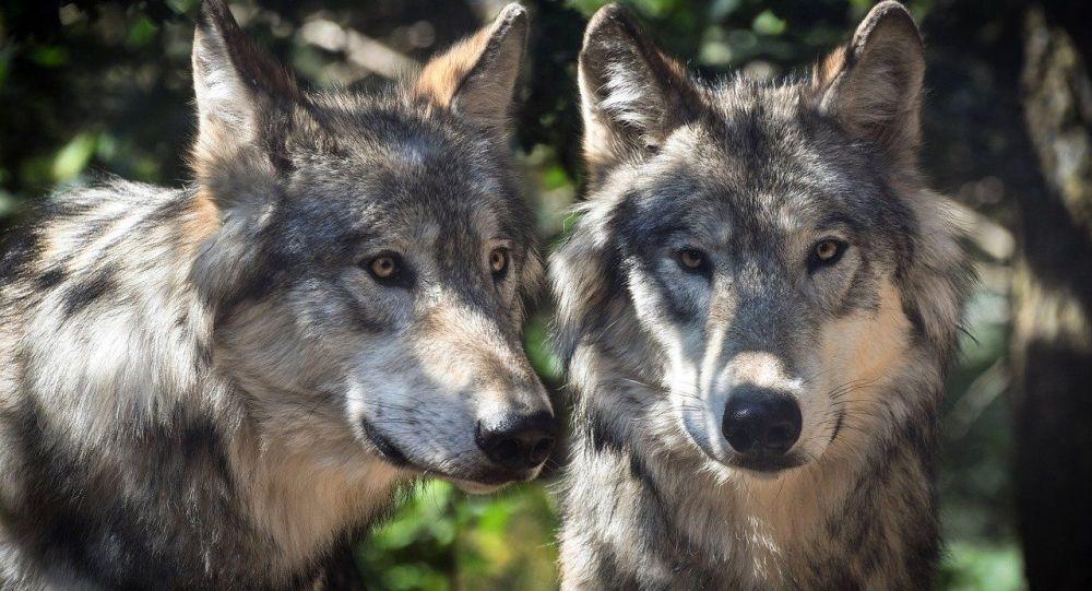 Une meute de loups dévore un chien et oblige un homme à grimper dans un arbre en centre-ville – vidéo choc – Sputnik France