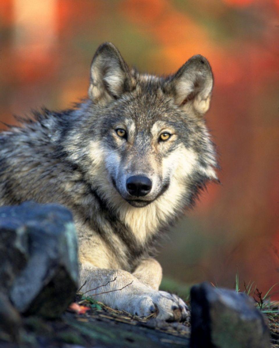 (2) Le loup, la culture et les menaces de mort – Libération