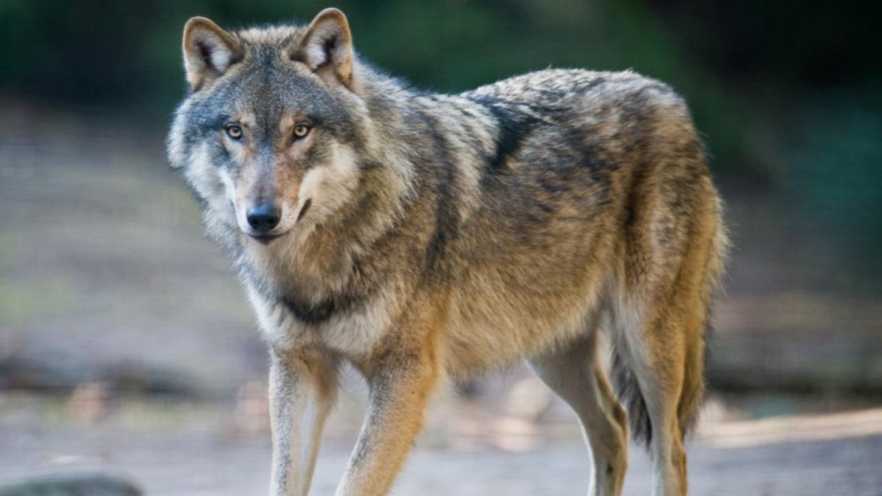 Alpes du Sud : la consultation publique sur la gestion du loup, c'est fini