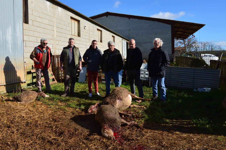 22 morts et un troupeau en stress: nouvelle probable attaque de loup dans le Var – Var-Matin