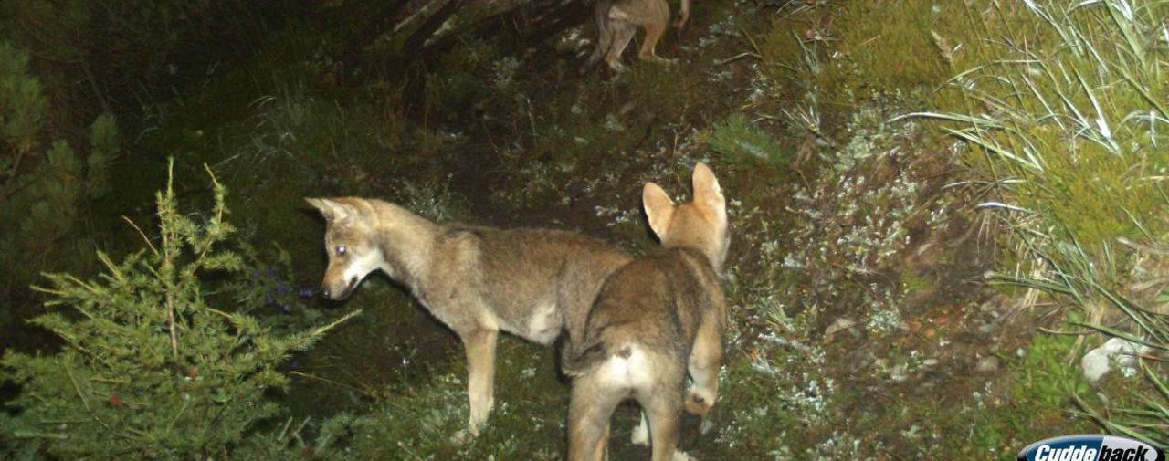 Six loups sont morts percutés par des voitures ou des trains dans les Grisons cette année – Le Temps