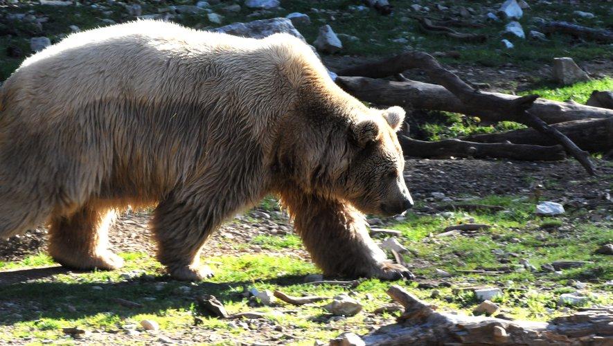 Pyrénées : Macron promet l'arrêt des réintroductions d'ours, les écologistes vent debout – midilibre.fr