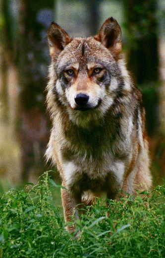 Attaques de brebis : le loup rôde-t-il vraiment dans le Lot ? – ladepeche.fr