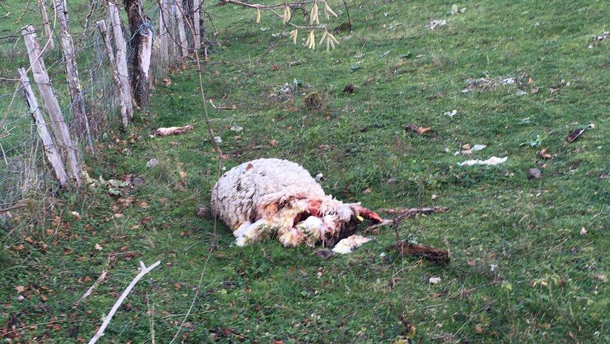 «Le loup peut être tiré en toute légalité» selon la Confédération paysanne de l'Ariège – ladepeche.fr