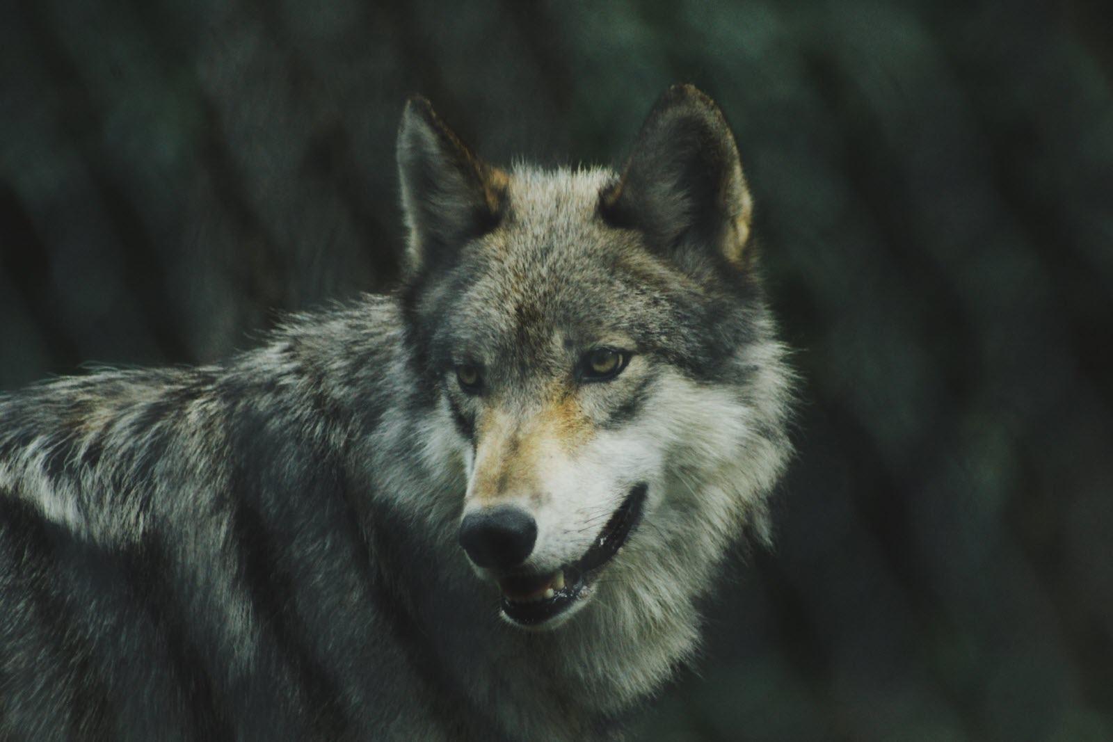 Magazine Lifestyle | Quiz : connaissez-vous vraiment le loup ?